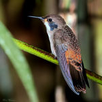 Title: Brown Violetear Hummingbird
