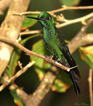 Title: Green-crowned Brilliant (male)