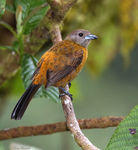 Title: Passerini's Tanager (Female)