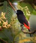 Title: Passerini's Tanager (Male)