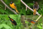 Title: Baltimore Oriole (Male & Female)