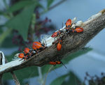 Title: Large Milkweed Bug NymphsCanon 5D Mark III