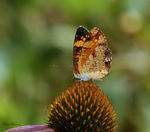 Title: Pearl Crescent (Phyciodes tharos)Canon 5D Mark11