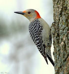 Title: Red-bellied Woodpecker (Female)