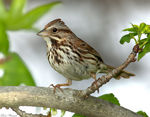 Title: Song Sparrow (Melospiza melodia)