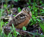 Title: American Woodcock (Scolopax minor)