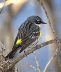 Title: Yellow-rumped Warbler (Myrtle) Male