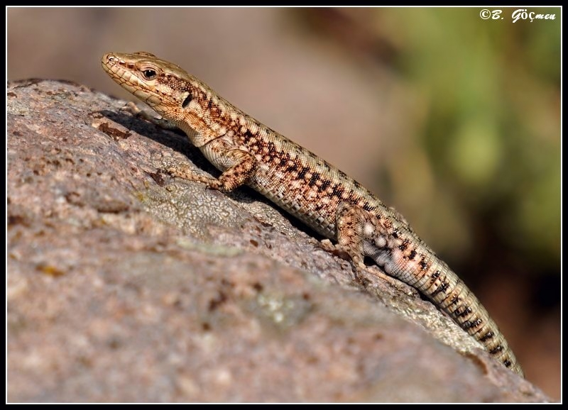 Male Anatolian Rock Lizard