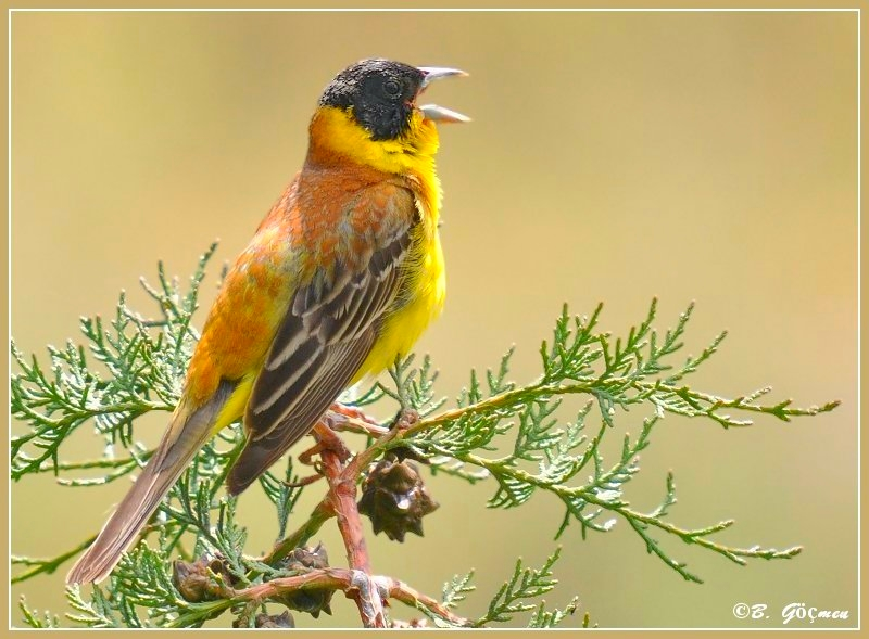 Black-Headed Bunting for MAURIZIO