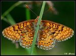 Title: The undersides of Marsh Fritillary