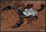 Title: Kraepelin�s Scorpion carrying her Childs