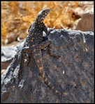 Title: Orange Spotted Agama - 1st on TN