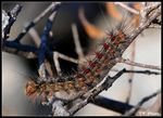Title: Gypsy Moth CaterpillarNikon D-80