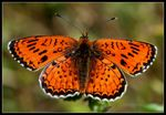 Title: An odd fritillary for IVAN