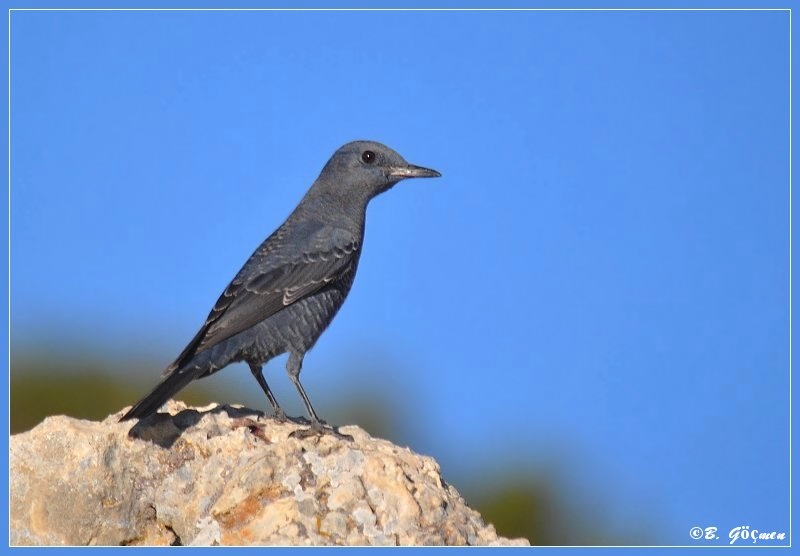 Blue Rock Thrush for PeterZ