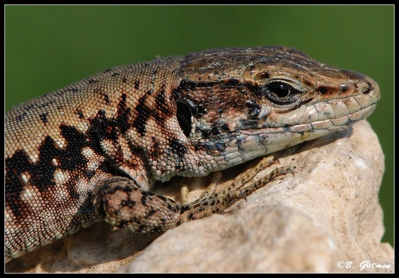 Just  a beauty (:Kulzer's Rock Lizard)
