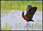 Title: Glossy Ibis for Asbed