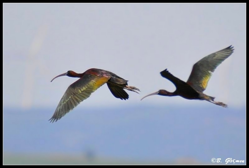 Glossy Ibis for Asbed