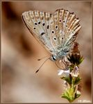 Title: Meleager�s Blue (Female)Nikon D-80