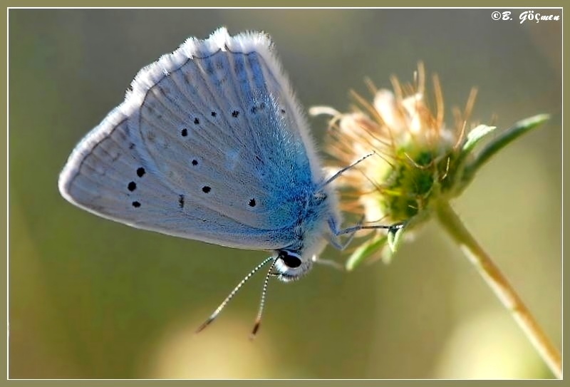 Meleager�s Blue (Male)