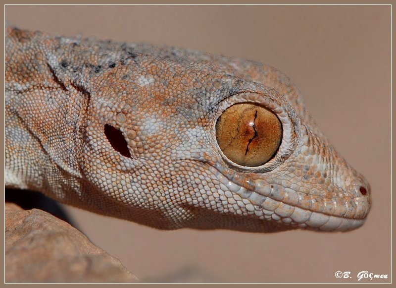 Portrait of Spotted Fan-footed Gecko