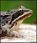Title: Portrait of Uludag Frog from Uludag Mt. Camera: Nikon D-80