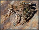 Title: Uludag/Caucasus Frog - 1st on TN