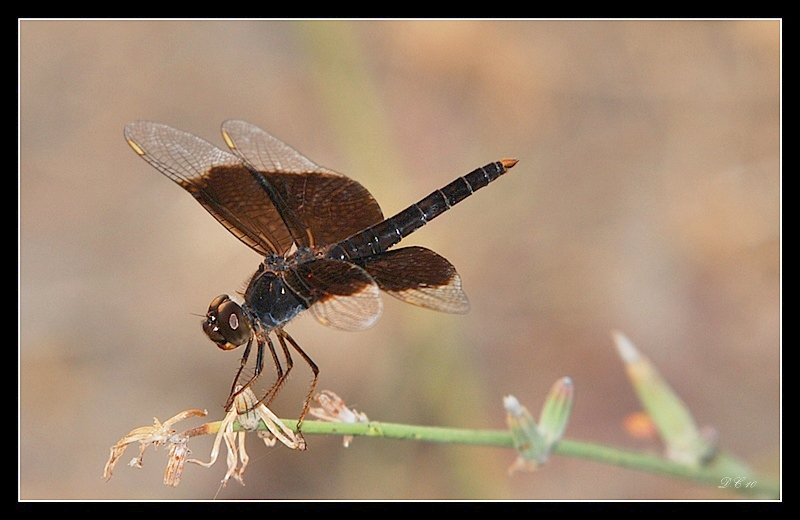 Brachythemis fuscopalliata