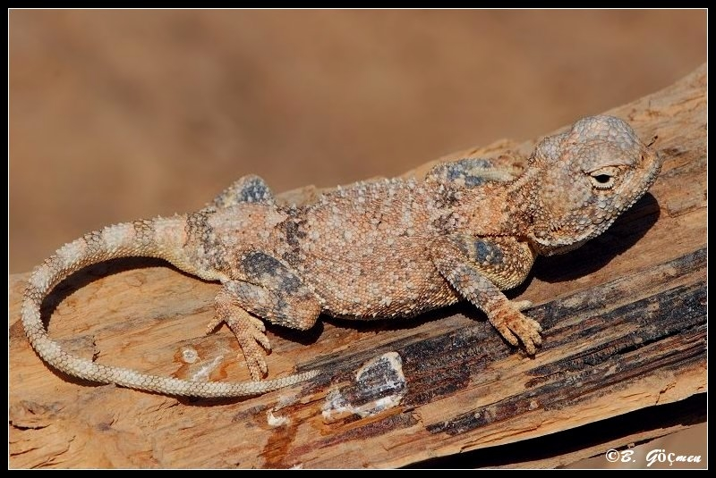 Pale Agama - 1st on TN