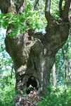 Title: Tree Face