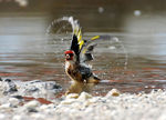 Title: Goldfinch...
