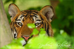 Title: Bengal TigerCanon  40D