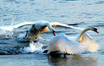 Title: Swan attack