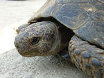 Title: Testudo graeca (Spur-thighed Tortoise)