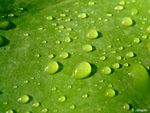 Title: Droplets on leaf  for Boreocypriensis