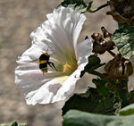 Title: Bumble bee