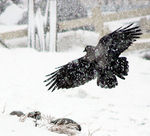 Title: Crows on The Snow II