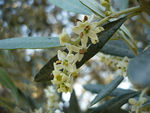 Title: Olive flowers