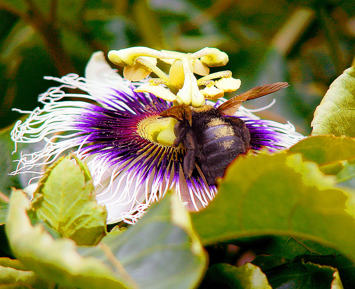 Passion flower and black bee