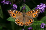 Title: Meadow Argus