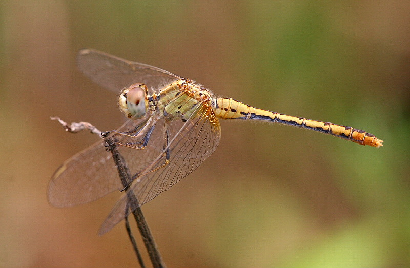 Common Percher (female)