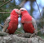 Title: Galahs at Local Park Camera: Canon EOS 20D