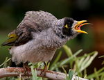 Title: That's Why It's Called Noisy Miner