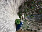 Title: The Blue-White Peacock