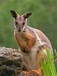 Title: Yellow-footed Rock-wallaby