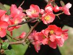 Title: a wild quince tree