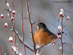 Title: American Robin and the frozen berriesNikon D70