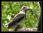 Title: Kookaburra with breakfast II