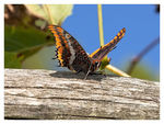 Title: Charaxes jasus