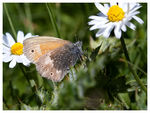 Title: Coenonympha rhodopensis